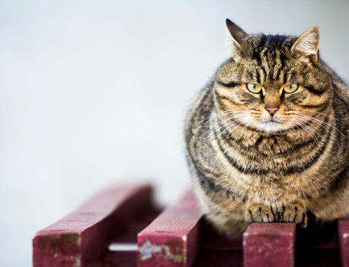 Shedding Light on Shedding Pounds: Pet Weight Management
